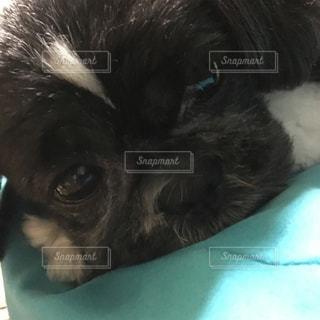 犬,寝顔,可愛い,アップ,インドア,オリジナル,ねむねむ