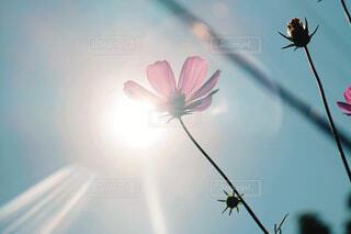 空,公園,花,秋,ピンク,コスモス,散歩,ポストカード,秋桜,秋空,草木,孤高