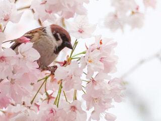 花,春,桜,鳥,景色,すずめ,flower,草木,Spring,さくら,ブロッサム