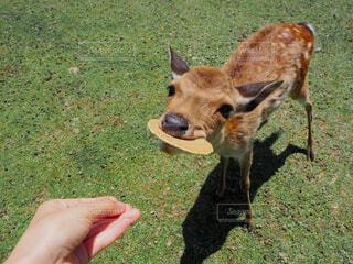 犬,動物,屋外,草,人物,人,鹿,奈良,餌やり,子鹿,鹿せんべい