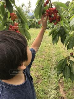 自然,葉,木の実,草,腕,果物,樹木,さくらんぼ,くだもの,男の子,狩り,頬,園