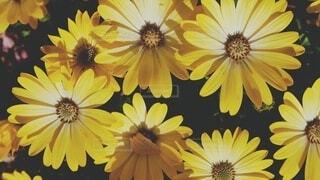 花,ひまわり,デイジー,草木