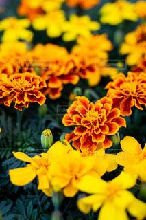 花,フラワー,オレンジ,マリーゴールド,草木,おしゃれ,フローラ