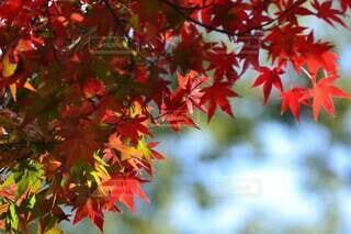 秋,紅葉,緑,赤,カラフル,黄色,樹木,草木,カエデ,カエデの葉