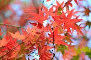 秋,紅葉,緑,赤,葉,樹木,草木,カエデ