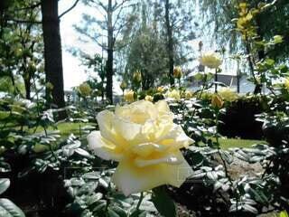 庭,屋外,バラ,樹木,草木,ガーデン