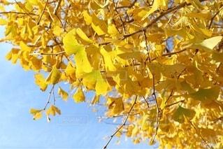 木に彩りを与えるイチョウの写真・画像素材[4934787]