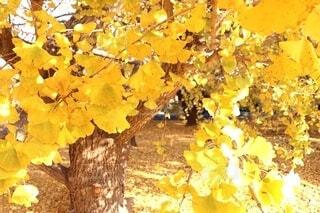 イチョウの黄色い絨毯の写真・画像素材[4934788]