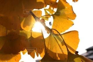 イチョウの光と影の写真・画像素材[4934791]