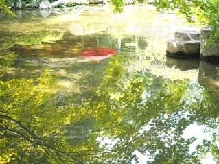 自然,風景,夏,秋,紅葉,木,傘,屋外,湖,太陽,緑,赤,あたたかい,水,水面,もみじ,池,反射,光,鏡,樹木,かえで,みどり,あか,素材,草木,鏡池,カエデ,モミジ
