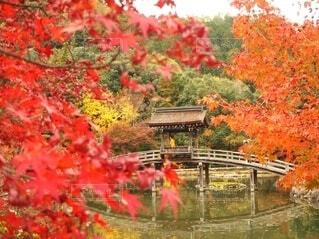 自然,風景,公園,秋,橋,紅葉,屋外,神社,赤,黄色,茶色,もみじ,池,オレンジ,樹木,イチョウ,あか,茶,橙,素材,落葉,草木,黄金,きいろ,カエデ,橙色,モミジ