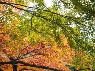 自然,風景,空,夏,秋,紅葉,木,屋外,緑,赤,黄色,葉,もみじ,樹木,イチョウ,木陰,黄昏,みどり,生命,グラデーション,黄,あか,四季,素材,落葉,草木,きいろ,モミジ