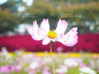 秋桜の写真・画像素材[4934811]