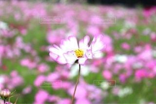 自然,風景,花,秋,お花畑,花畑,ピンク,白,かわいい,コスモス,花びら,ぼかし,可愛い,秋桜,好き,恋,占い,素材,しろ,草木,ポエム,花占い,おまじない,嫌い,おはなばたけ,フローラ