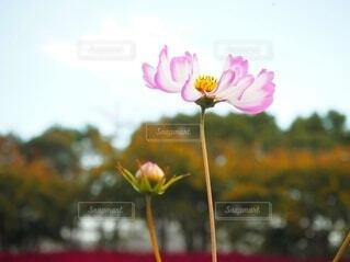 自然,風景,空,花,秋,ピンク,赤,白,かわいい,コスモス,親子,花びら,ぼかし,つぼみ,可愛い,蕾,秋桜,恋,あか,素材,しろ,草木,背比べ,ツボミ,フローラ