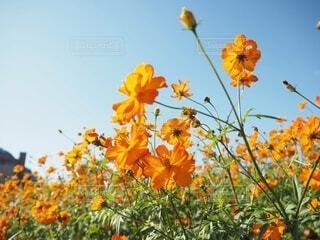 黄花コスモスの横顔の写真・画像素材[4934825]