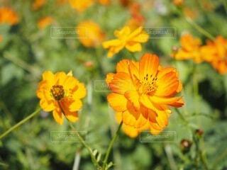 オレンジの花と緑の葉の写真・画像素材[4938669]