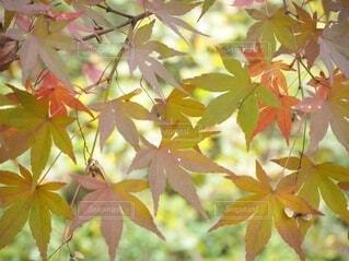 色々な色のカエデの葉の写真・画像素材[4944994]