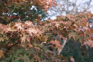 色とりどりの楓の葉の写真・画像素材[4953926]