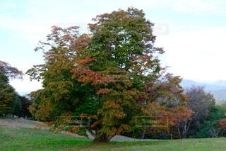 青空と大きな楓の木の写真・画像素材[4953925]