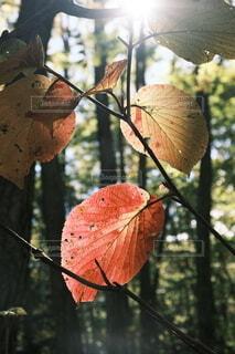 透き通った葉と木漏れ日の写真・画像素材[4953984]
