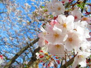 自然,空,花,春,桜,木,ピンク,緑,綺麗,青空,青,枝,葉,満開,樹木,日本,カラー,入学式,草木,桜の花,卒業式,春の花,ブルーム,木の枝,ブロッサム