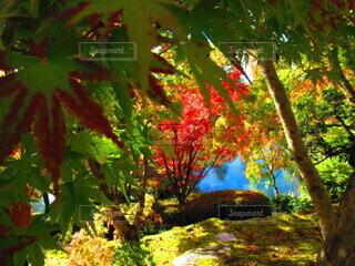 自然,公園,花,秋,紅葉,木,屋外,京都,緑,植物,赤,水,観光地,もみじ,池,観光,樹木,旅行,旅,生き物,草木