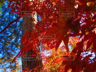 自然,空,秋,紅葉,木,屋外,京都,緑,赤,青空,青,枝,観光地,葉,もみじ,観光,紅,樹木,旅,快晴,落葉,クローズアップ,草木,木の枝