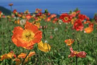 花,屋外,花びら,ポピー,カラー,草木,草本植物