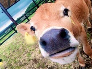 動物,屋外,茶色,牛,草