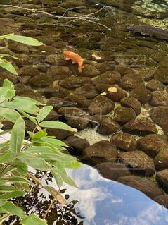 自然,魚,屋外,水面,池,鯉