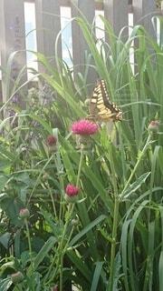 蝶の写真・画像素材[4937960]