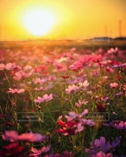 愛知県安城市の秋桜 夕暮れ時のコスモスの写真・画像素材[4947583]