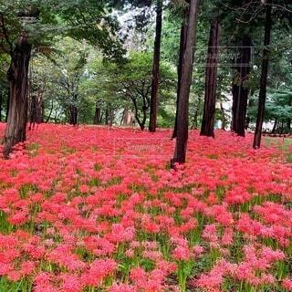 村上緑地公園の彼岸花の写真・画像素材[4940123]