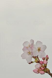 桜のクローズアップの写真・画像素材[4943750]