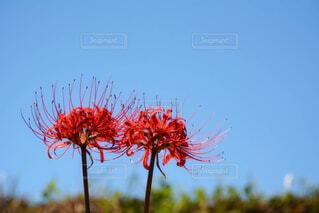 青空に向かって元気良く咲く彼岸花二輪の写真・画像素材[4952957]