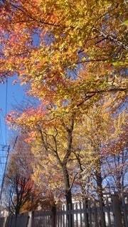 秋の散歩道の色づいた街路樹の写真・画像素材[4942281]