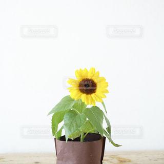 屋内,ひまわり,一輪,向日葵,黄色の花,窓辺,鉢植え,植木,フィルム,雰囲気,自然光,フィルム写真,木のテーブル,木目調,白バック,夏の思い出,フィルム調,大きな花,ミニひまわり,フィルムフォト