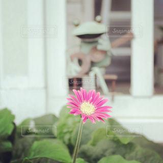 花,庭,ピンク,かわいい,一輪,レトロ,外,雑貨,ナチュラル,フィルム,ほっこり,雰囲気,ガーベラ,自然光,フィルム写真,白い家,フィルム調,フィルムフォト,カエルの置物,ファルム写真