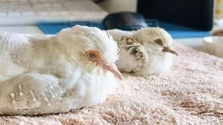 お昼寝をするウスユキバトの兄妹の写真・画像素材[4965287]