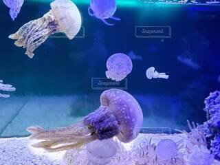 タコクラゲの写真・画像素材[4949831]