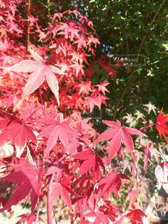 紅葉 - No.888214