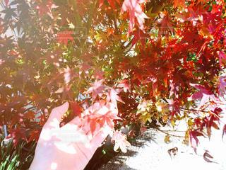 紅葉の写真・画像素材[888244]