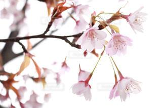 桜の写真・画像素材[2020259]