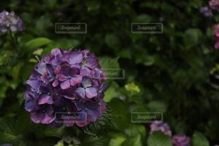 紫陽花の写真・画像素材[4950064]