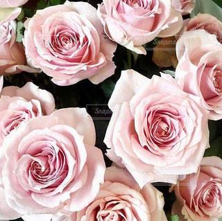 ピンクの花のグループの写真・画像素材[1820897]