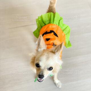 かぼちゃのドレスに仮装した犬の写真・画像素材[4952859]