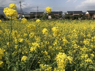 2月に満開になる鹿児島県の菜の花の写真・画像素材[4953986]