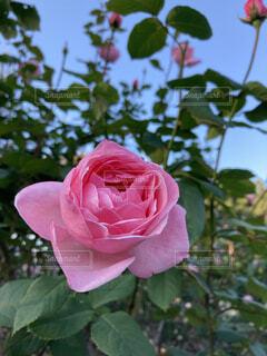 ピンクの薔薇の写真・画像素材[4953646]
