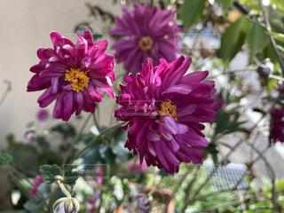 花のクローズアップの写真・画像素材[4956797]